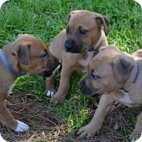 Adopt A Pet :: Tara, Tam, and Tia - Athens, GA