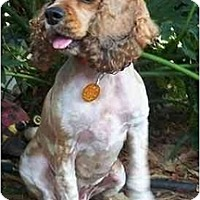 Adopt A Pet :: Jacie - Sugarland, TX