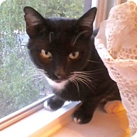 Adopt A Pet :: Johnny Cat - Colmar, PA