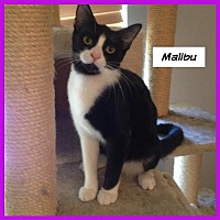 Adopt A Pet :: Malibu - Miami, FL