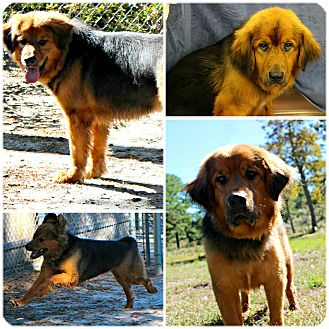 German Shepherd Dog/Great Pyrenees Mix Dog for adoption in Forked River, New Jersey - Asia