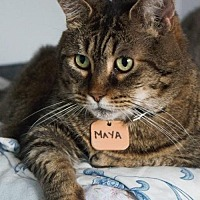 Domestic Shorthair Cat for adoption in Montreal, Quebec - Maya