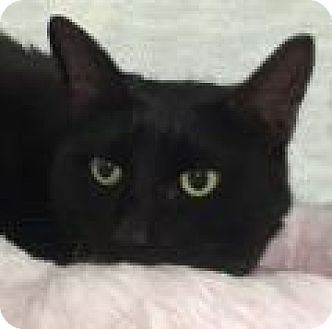 Domestic Shorthair Cat for adoption in Tiburon, California - Amy