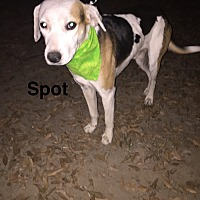Adopt A Pet :: Spot - Manchester, CT