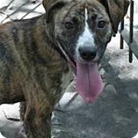 Adopt A Pet :: Marcia - East Randolph, VT