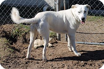 Great Pyrenees/Labrador Retriever Mix Dog for adoption in Ruskin, Florida - River
