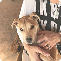 Adopt A Pet :: Presley - tucson, AZ
