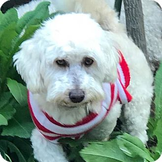 Bichon Frise Mix Dog for adoption in Placentia, California - Andy