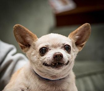 Chihuahua Dog for adoption in Fresno, California - Buffy Garcia