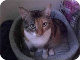 Domestic Shorthair Cat for adoption in Lombard, Illinois - Doris Day