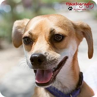 Chihuahua Mix Dog for adoption in Phoenix, Arizona - Greg Brady