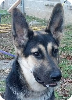 German Shepherd Dog Dog for adoption in Nashville, Tennessee - Bria