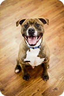 Boxer/Terrier (Unknown Type, Medium) Mix Dog for adoption in Lake Odessa, Michigan - Magic
