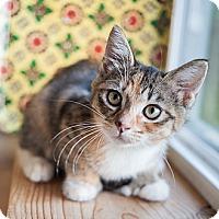 Adopt A Pet :: Sweety - Shelton, WA