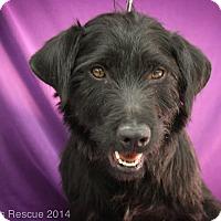 Adopt A Pet :: Cameron - Broomfield, CO