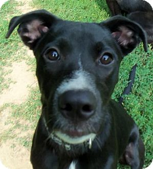 Labrador Retriever/Pit Bull Terrier Mix Dog for adoption in Indianapolis, Indiana - Miles