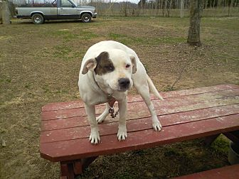 American Staffordshire Terrier Mix Dog for adoption in Cookeville, Tennessee - B.B.