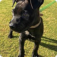 Adopt A Pet :: Killian - Huntington Beach, CA