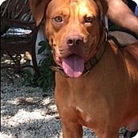 Adopt A Pet :: Red - Cutler Bay, FL