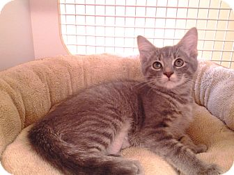 Domestic Shorthair Kitten for adoption in Richmond, Virginia - Misty