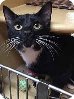 Domestic Shorthair Kitten for adoption in Morganton, North Carolina - Romulus