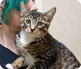 Domestic Shorthair Cat for adoption in Troy, Michigan - Jax
