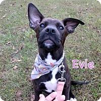 Adopt A Pet :: Evie - Groton, MA