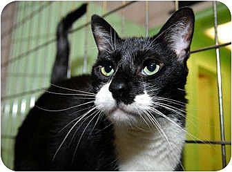 Domestic Shorthair Cat for adoption in New York, New York - Gabe