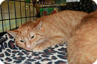Domestic Shorthair Kitten for adoption in Rochester, Minnesota - OJ Kingston