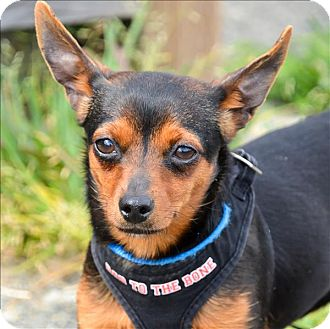 Chihuahua Dog for adoption in Vallejo, California - Davina