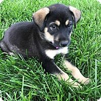 Adopt A Pet :: Adam - MCLEAN, VA