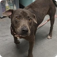 Adopt A Pet :: Ashley - Farmington, NM