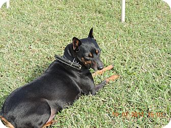 Miniature Pinscher Dog for adoption in Nashville, Tennessee - Dino