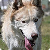 Adopt A Pet :: Loki - Valley Springs, CA