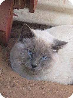 Siamese Cat for adoption in Las Cruces, New Mexico - Toby