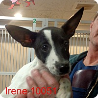Adopt A Pet :: Irene - Greencastle, NC