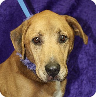 Labrador Retriever Mix Dog for adoption in Jackson, Michigan - Shelly
