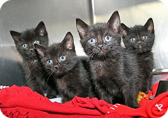 Domestic Mediumhair Kitten for adoption in Marietta, Ohio - Savannah Seth Sierra Simon