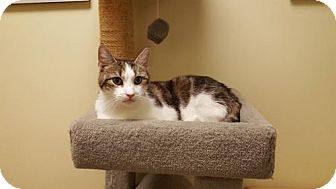 Domestic Shorthair Cat for adoption in Balto, Maryland - Pretty Girl