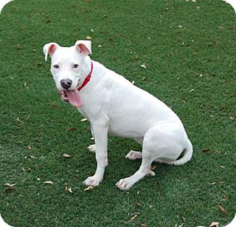 Pit Bull Terrier Mix Dog for adoption in Bradenton, Florida - Piggy