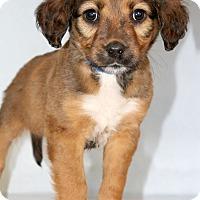Adopt A Pet :: Chess - Waldorf, MD