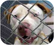 American Pit Bull Terrier Dog for adoption in Emory, Texas - Mack