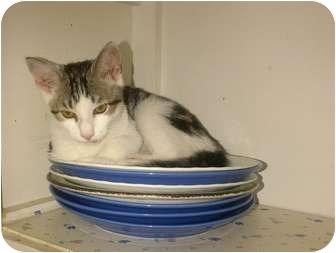 Domestic Shorthair Cat for adoption in Toronto, Ontario - Simi