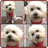 Adopt A Pet :: Pete - South Gate, CA
