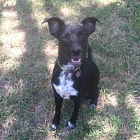 Adopt A Pet :: Tipper - Tomball, TX