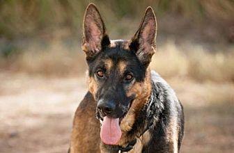 German Shepherd Dog Dog for adoption in Newport Beach, California - Chopper