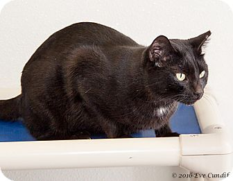Domestic Shorthair Cat for adoption in Martinsville, Indiana - Shela