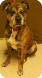 Mastiff Mix Dog for adoption in Gary, Indiana - Axle