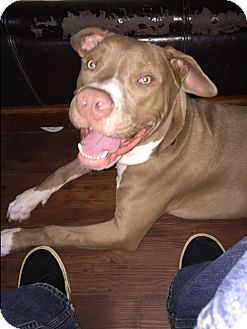 Pit Bull Terrier Mix Dog for adoption in La Habra, California - Toby (Courtesy List)
