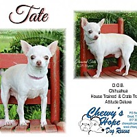 Chihuahua Dog for adoption in Boyd, Texas - Tate